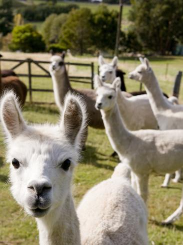 Alpacas on Farm Photographic Print