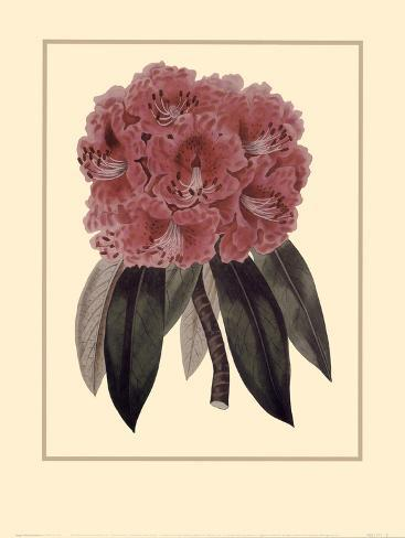 Regal Rhododendron Art Print
