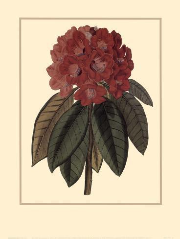 Rhododendron Rojo Art Print