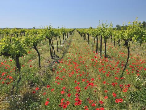 Poppies in the Vineyard Valokuvavedos