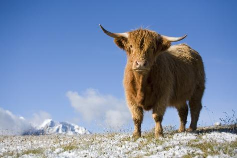 Austria, Tyrol, National-Park Hohe Tauern, Highland Cattle, Full Length Portrait, Stands Photographic Print