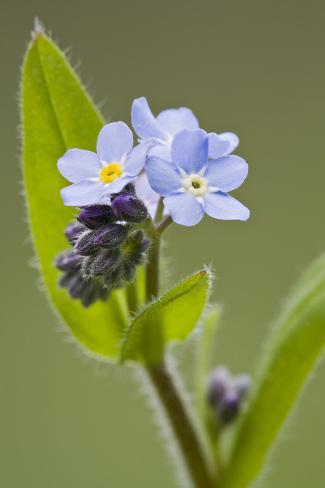 Forget-Me-Not, Myosotis, Blossoms Photographic Print
