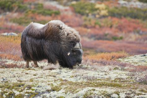 Norway, Dovrefjell National Park, Musk Ox, Ovibos Moschatus Photographic Print