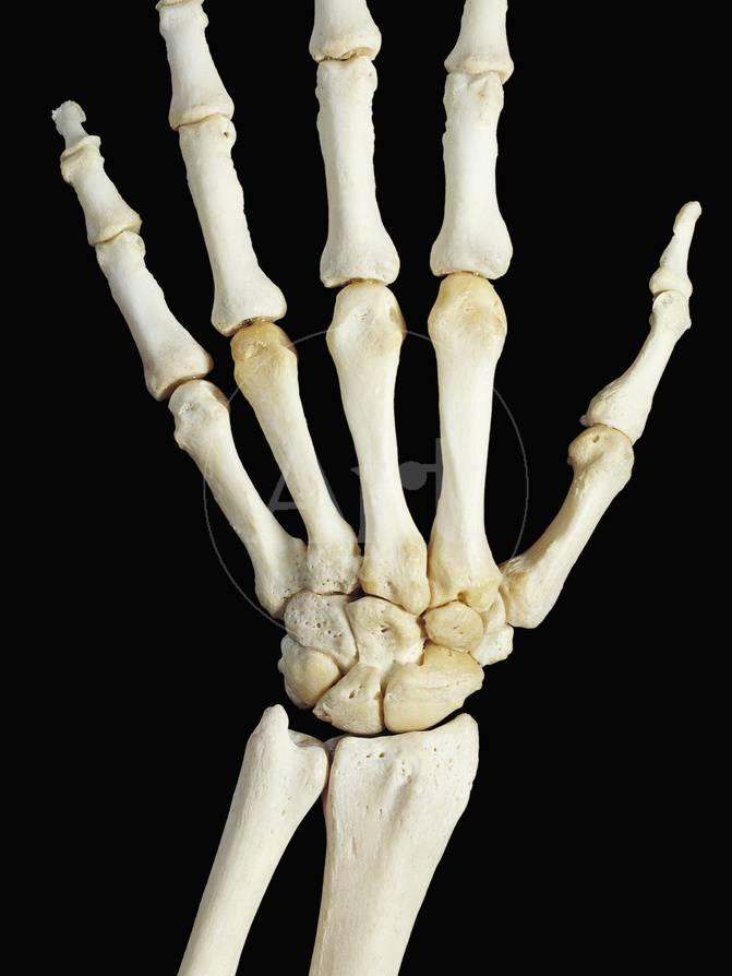 Bones Of The Human Right Hand Wrist And Lower Arm Radius And Ulna