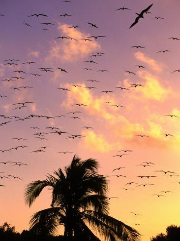 frigate birds soaring at sunrise around coconut palms. Black Bedroom Furniture Sets. Home Design Ideas