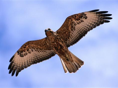 Immature Galapagos Hawk in Flight, Galapagos, Ecuador Photographic Print
