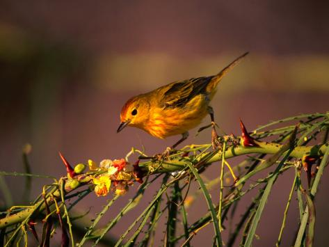 Yellow Warbler on a Thorny Branch, Galapagos, Ecuador Photographic Print