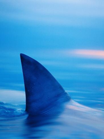Shark's Dorsal Fin Cutting Surface of Water Photographic ...