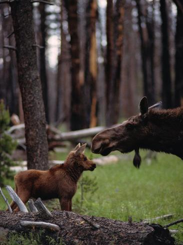 Moose with Young Photographic Print