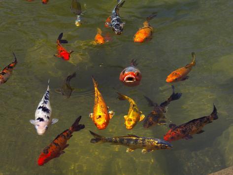 koi fish in a pond stampa fotografica di raul touzon su