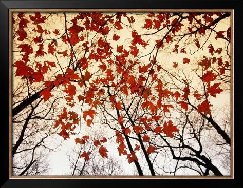 Bare Branches and Red Maple Leaves Growing Alongside the Highway Framed Photographic Print
