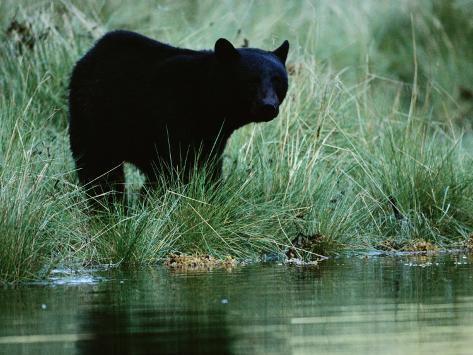 Black Bear (Ursus Americanus) Photographic Print