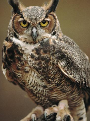 Captive Great Horned Owl Stampa fotografica
