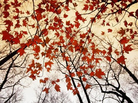Kale takken en rode esdoornbladeren die langs de snelweg groeien Fotoprint