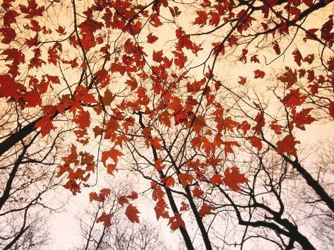 Red Maple and Autumn Sky Impressão artística