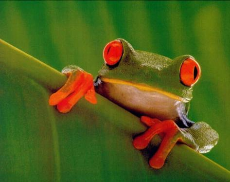 REALLY COOL Red Eyed Frog Art Print Poster Mini Poster