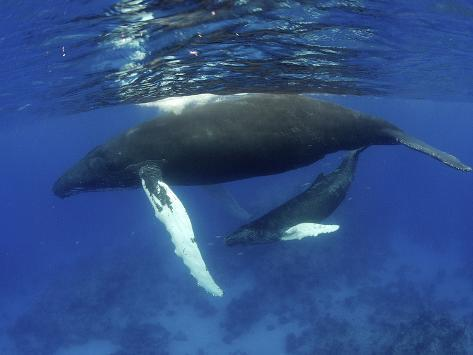 Humpback Whale Mother and Calf, Silver Bank, Domincan Republic Photographic Print