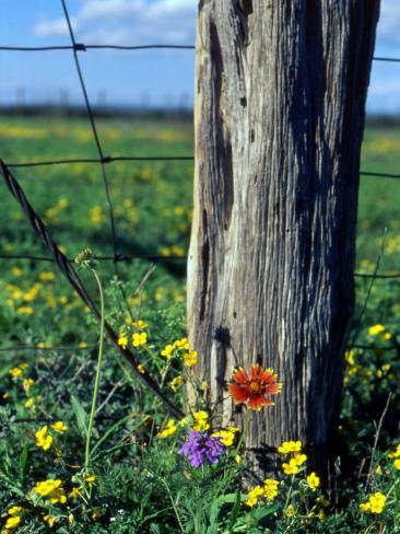 Early Spring Flowers Fence Post Tx Photographic Print By Rebecca