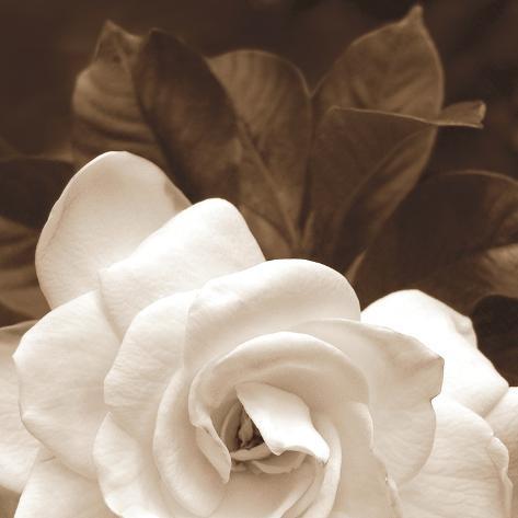 Gardenia Garden Stampa fotografica
