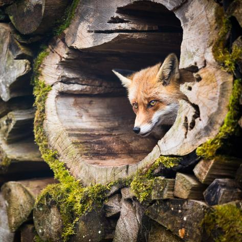 Red Fox (Vulpes Vulpes) Photographic Print