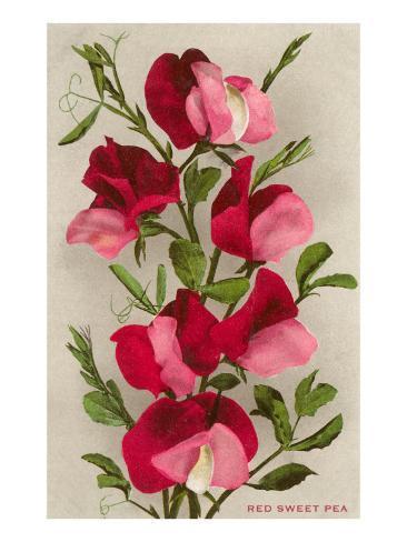 Red Sweet Peas Art Print