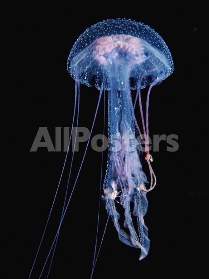 Luminescent Jellyfish Pelagia Noctiluca France Mediterranean