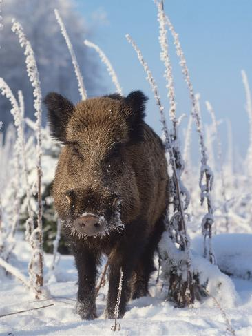 Wild Boar in Winter (Sus Scrofa), Europe Photographic Print