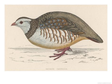 Barbary Partridge Giclee Print