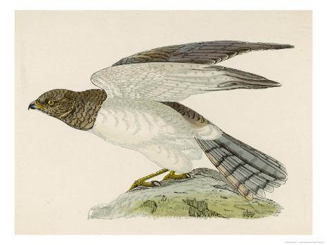 Hen Harrier Giclee Print