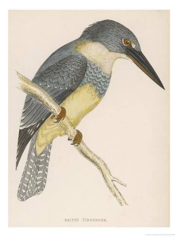 North American Belted Kingfisher Giclee Print