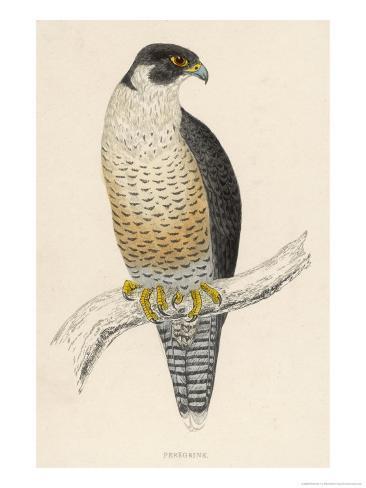 Peregrine Falcon Giclee Print