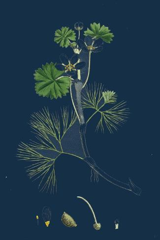 Buckthorn Vintage Botanical Floral Illustration Art Poster 24x36