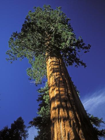 Giant Sequoias in Sequoia National Park, California Photographic Print