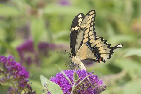 オールポスターズの richard and susan day giant swallowtail