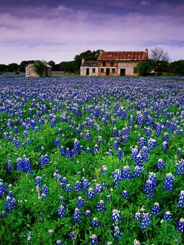 Field of Blubonnets, Marble Hill Area, Texas Photographic Print