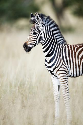 zebra baby photographic print by richard du toit at allposters com