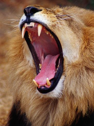 Lion Yawns in Moremi Wildlife Reserve Photographic Print