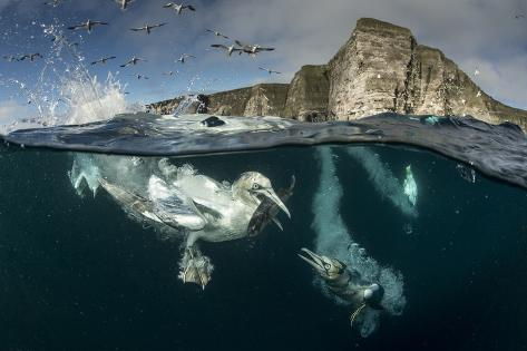 Gannets (Morus Bassanus) Diving to Feed on Discarded Fish, Shetland, Scotland, UK Photographic Print