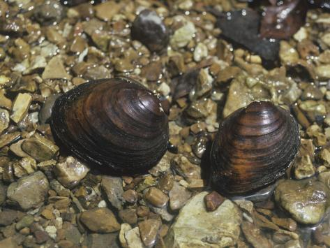 Round Pig Toe Mussel (Pleurobema Coccineum), a Freshwater Species, Central USA Photographic Print