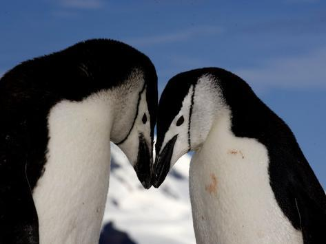 Adult Chinstrap Penguins Courting, Half Moon Bay, Antarctica, January 2007 Photographic Print