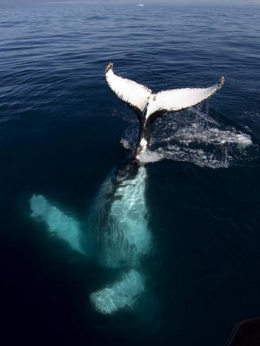 Humpback Whale Plays Alongside Sy