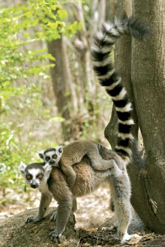 Ring Tailed Lemur Poster