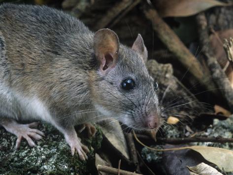 Key Largo Wood Rat or Packrat (Neotoma Floridana Smalli), an Endangered Species, Florida, USA Photographic Print