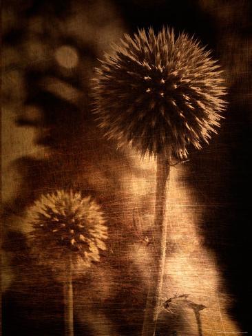 Sepia Dandelions Photographic Print