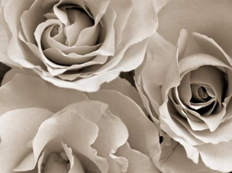 Three White Roses Photographic Print