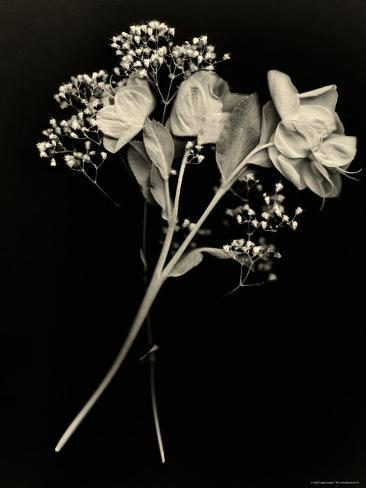 Wilted White Rose and Baby's Breath in Black and White Photographic Print
