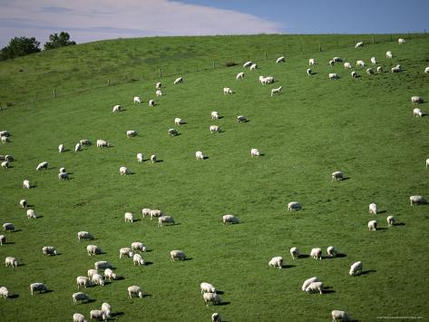 Sheep Grazing on Downs Near Geraldine at the South Western End of the Canterbury Plains Lámina fotográfica