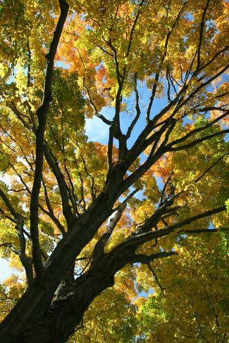Autumn Maple Vertical Stampa fotografica