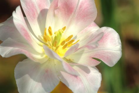 Tulip Pink CU Stampa fotografica
