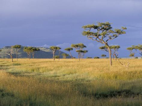 Umbrella Acacia Trees, Masai Mara, Kenya, East Africa, Africa Photographic Print
